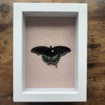 A preserved butterfly (or is it a moth?)